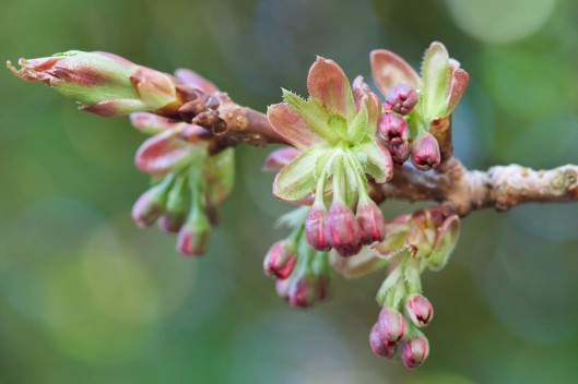 Ornamental cherry buds (pink flowers when they open)