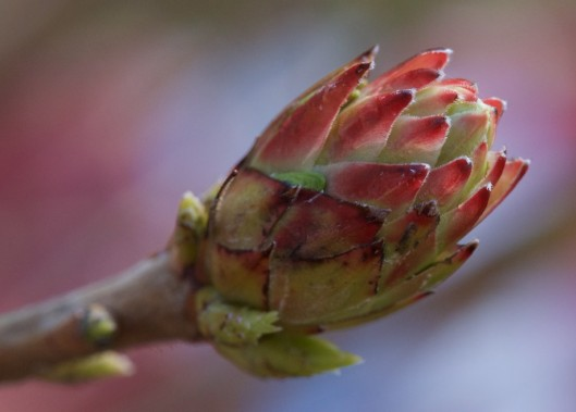 Yellow-flowering Azalea bud