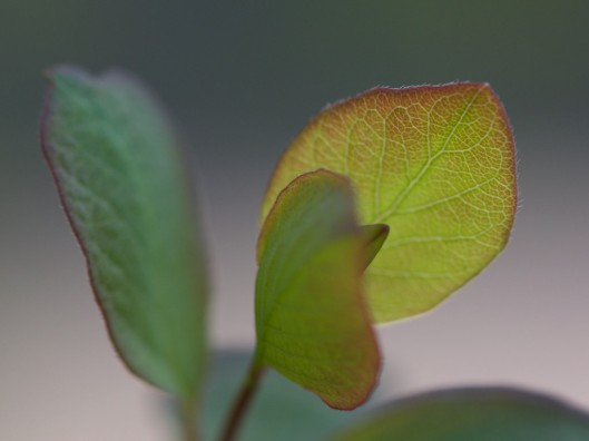 Young leaves of naturalised Snowberry (Symphoricarpos rivularis)