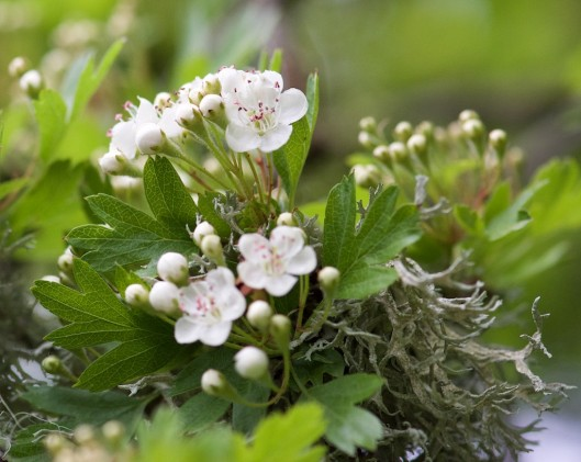 Hawthorn flowers opening at last  Wildplant no.64 for 2015